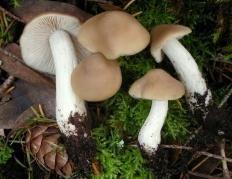 Энтолома сизо-белая (Entoloma lividoalbum)