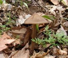 Энтолома весенняя (Entoloma vernum)