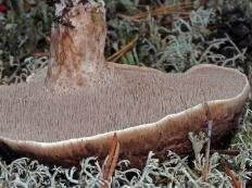 Ежовик пёстрый (Sarcodon Imbricatus)