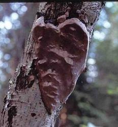 Феллинус сглаженный (Phellinus laevigatus)