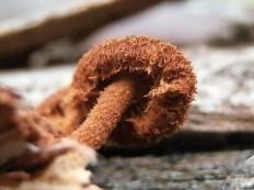 Феомаразмиус ежовиковый (Phaeomarasmius erinaceus)