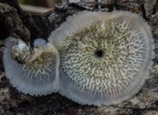 Мерулиус дрожащий (Phlebia tremellosa)