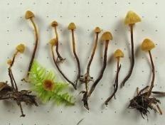 Галерина лентовидная (Galerina vittiformis)