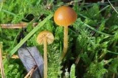 Галерина моховая (Galerina hypnorum)