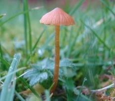 Галерина сфагновая (Galerina sphagnorum)