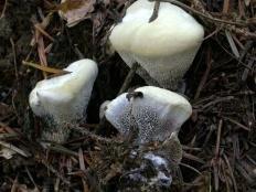 Гиднеллум пахучий (Hydnellum suaveolens)