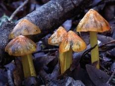 Гигроцибе коническая (Hygrocybe conica)