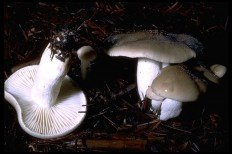 Гигрофор благоуханный (Hygrophorus agathosmus)