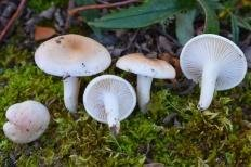 Гигрофор буковый (Hygrophorus leucophaeus)