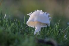 Гигрофор девичий (Cuphophyllus virgineus)