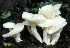 Гигрофор желтовато-белый (Hygrophorus eburneus)