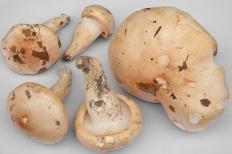 Гигрофор поэтичный (Hygrophorus poetarum)