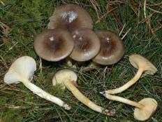 Гигрофор поздний (Hygrophorus hypothejus)