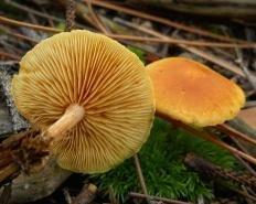 Гимнопил проникающий (Gymnopilus penetrans)