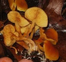 Гимнопил сосновый (Gymnopilus sapineus)