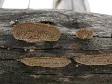 Глеофиллум бревенчатый (Gloeophyllum trabeum)