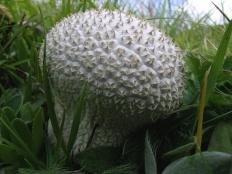 Головач мешковатый (Bovistella utriformis)
