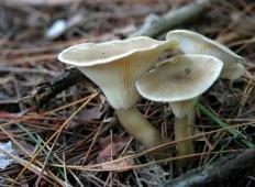 Говорушка булавоногая (Ampulloclitocybe clavipes)