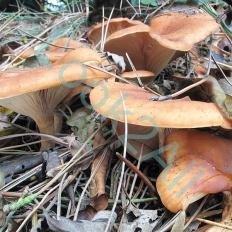 Говорушка перевёрнутая (Paralepista flaccida)