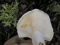 Груздь перечный (Lactarius piperatus)