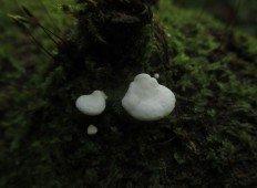 Хеймонофиллум чистейший (Cheimonophyllum candidissimum)