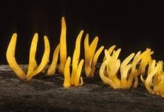 Калоцера роговидная (Calocera cornea)
