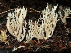Клавулина коралловидная (Clavulina coralloides)