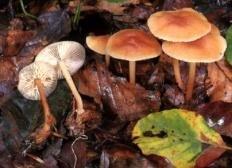 Опёнок весенний (Gymnopus dryophilus)