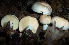 Коллибия пятнистая (Rhodocollybia maculata)