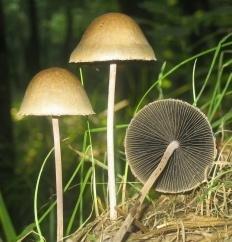 Панеолус колокольчатый (Колокольный засранец) (Panaeolus papilionaceus)
