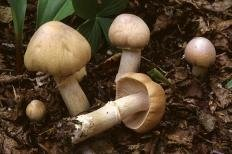 Колпак кольчатый (Rozites caperata)