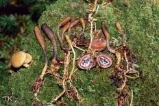 Кордицепс офиоглоссовидный (Tolypocladium ophioglossoides)