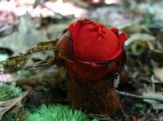 Красноустка киноварно-красная (Calostoma cinnabarina)