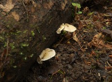 Крепидот мягкий (Crepidotus mollis)