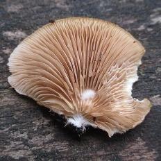 Крепидот уплощенный (Crepidotus applanatus)
