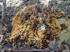 Ксеромфалина кауфмана (Xeromphalina kauffmanii)
