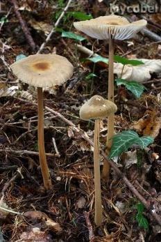 Ксерула длинноногая (Xerula pudens)