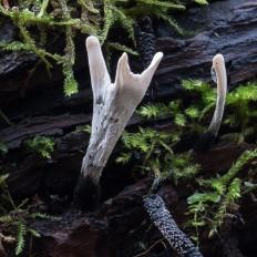 Ксилярия Гипоксилон (Xylaria hypoxylon)