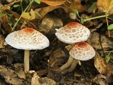 Лепиота гребенчатая (Зонтик гребенчатый) (Lepiota cristata)