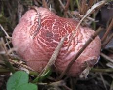 Лепиота пильчатая (Зонтик пильчатый) (Lepiota subincarnata)