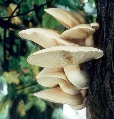 Гипсизигус ильмовый (Hypsizygus ulmarius)