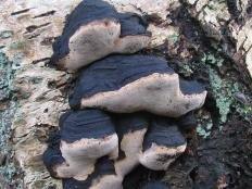 Ложный трутовик Лунделла (Phellinus lundellii)