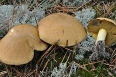 Маслёнок желто-бурый (Suillus variegatus)
