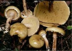 Масленок желтоватый (Suillus salmonicolor)