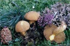 Маслёнок кедровый (Suillus plorans)