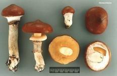 Маслёнок поздний (Suillus luteus)