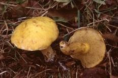 Маслёнок сибирский (Suillus sibiricus)