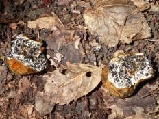 Меланогастер сомнительный (Melanogaster ambiguus)