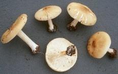 Меланолеука полосатоножковая (Melanoleuca grammopodia)