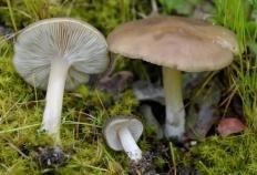 Меланолеука черно-белая (Melanoleuca melaleuca)